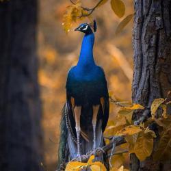 کانال قرقاول و طاووس رویا